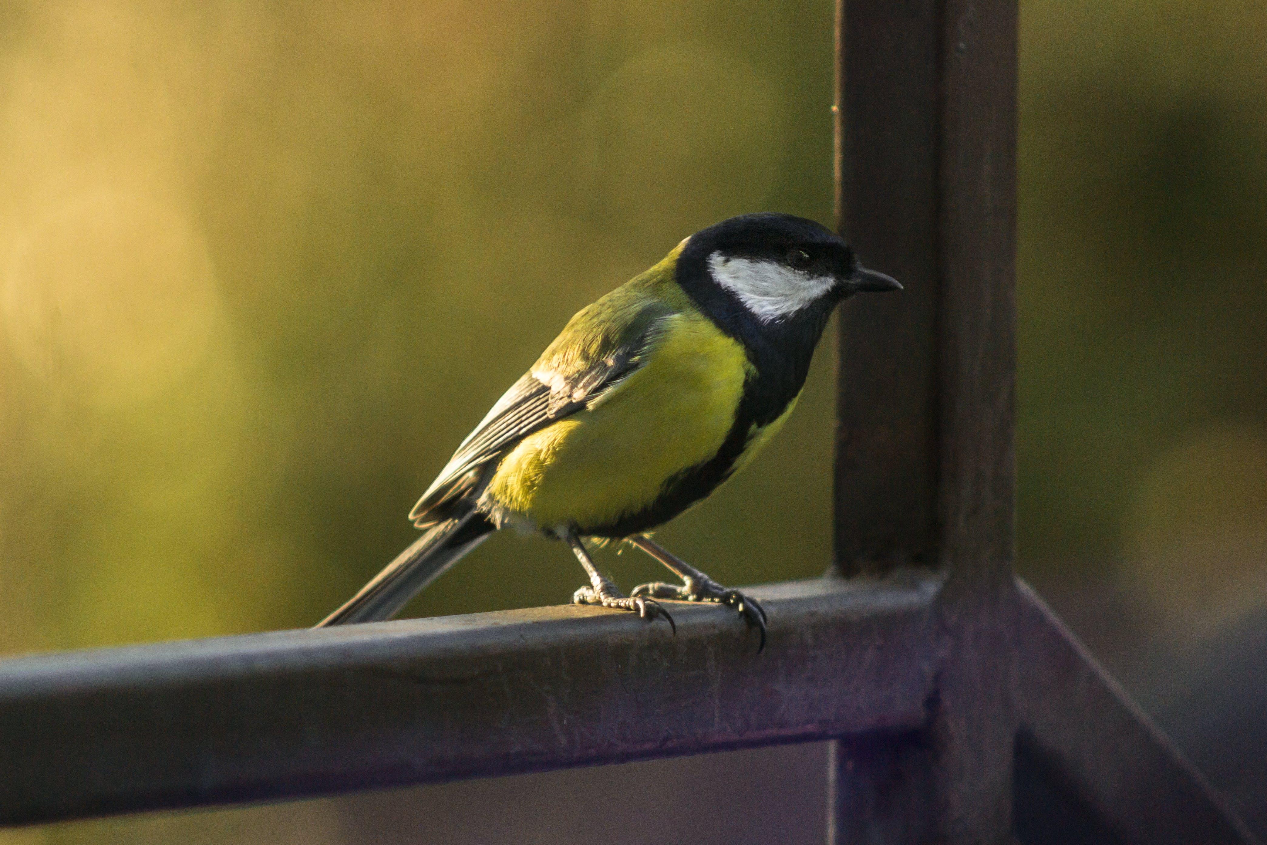 Free stock photo of bird, birdwatching, birdy, tit