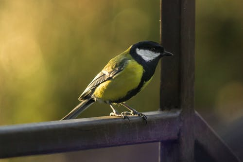 Free stock photo of birdwatching, birdy, tit, yellow