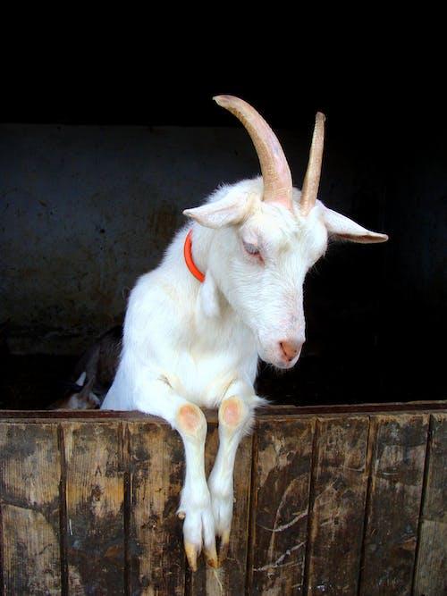 White Goat on Brown Wooden Log