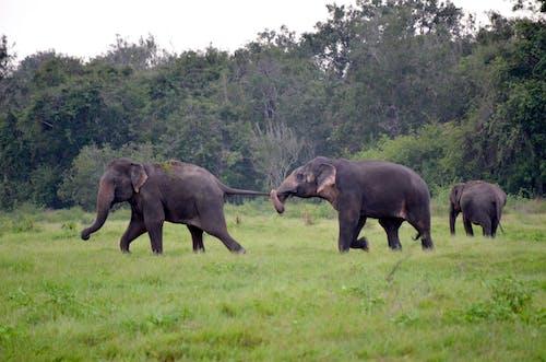 Elephants Walking on a Grassland