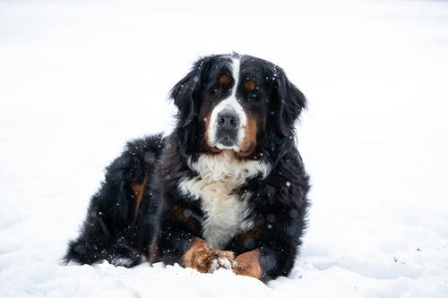 Close-Up Shot of a Bernese Mountain Dog Lying on a Snow-Covered Ground