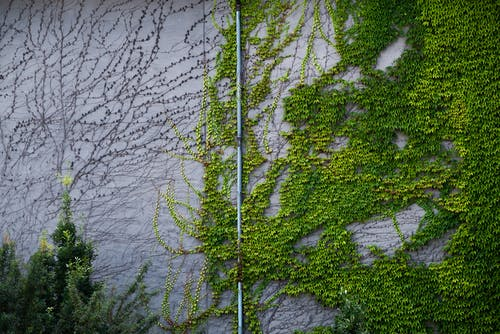 Wall and water pipe covered with lush green foliage of crawling ivy plant