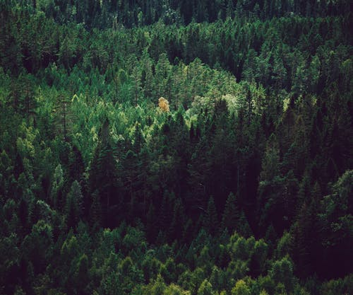 Drone view of lush fir trees and pines growing in woodland in daylight