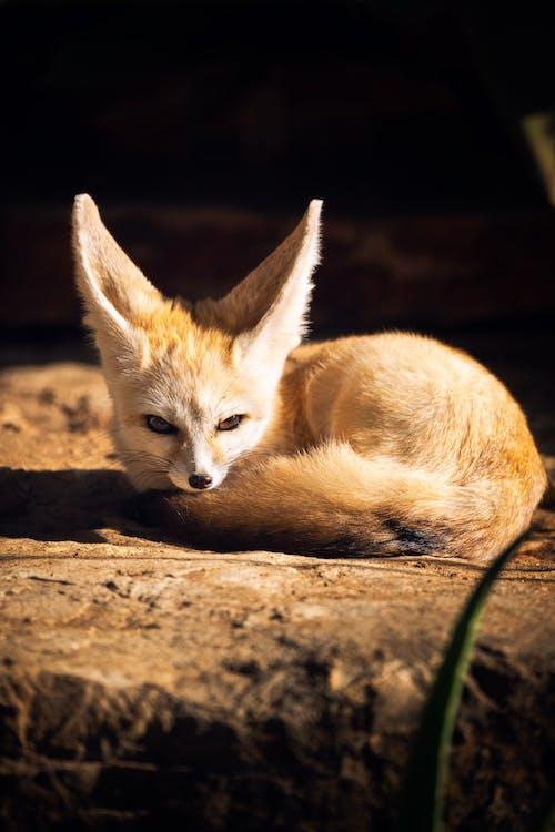 Brown Fox Lying on Brown Soil