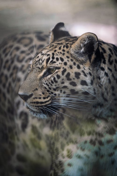 Close-Up View of a Leopard