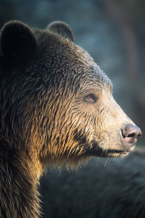 Brown Bear in Close Up Photography