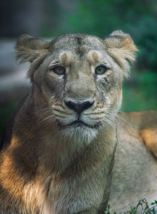 Close-Up View of a Lion