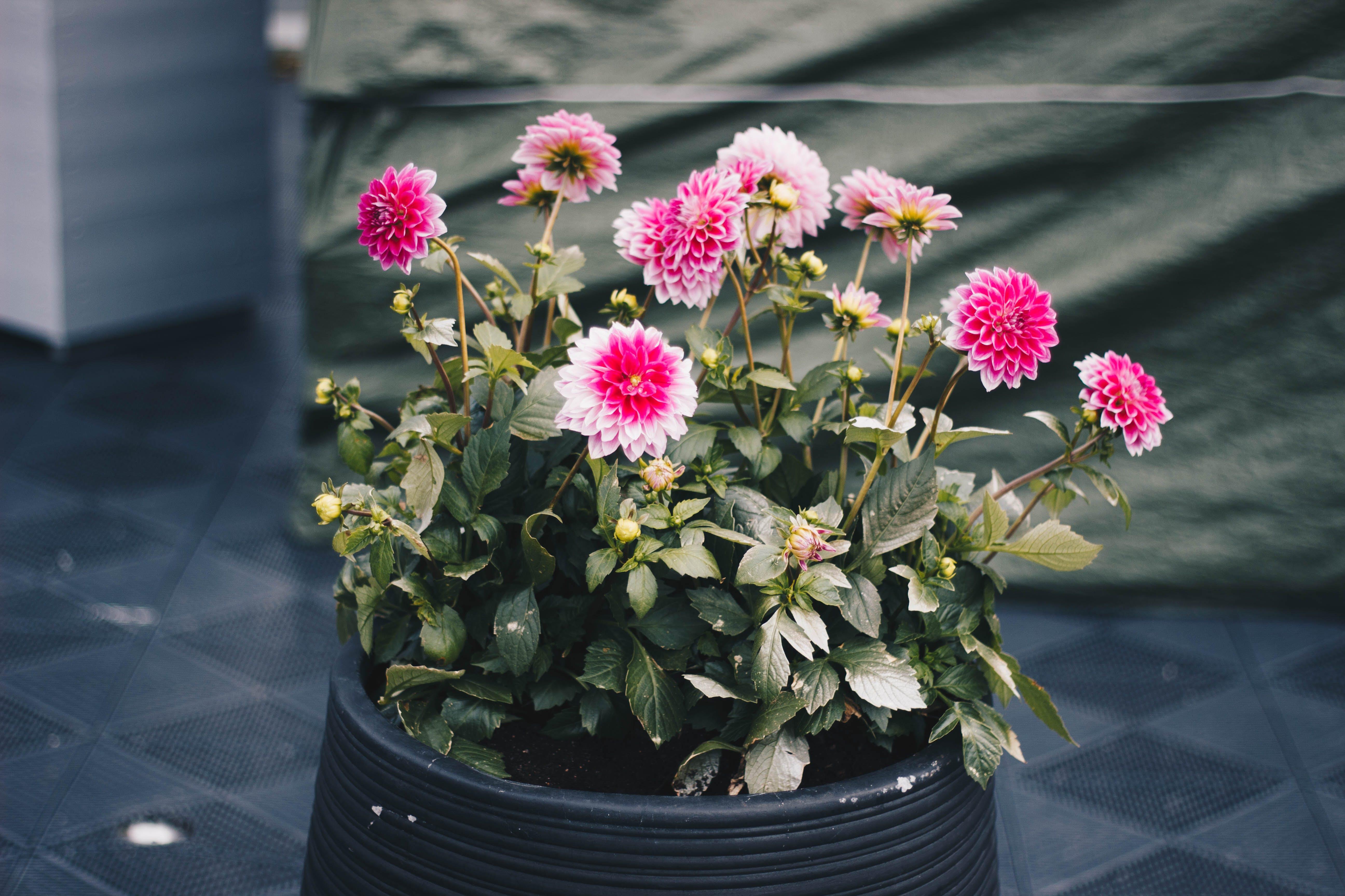 Fotos de stock gratuitas de cacerola, crecimiento, crisantemo, flor