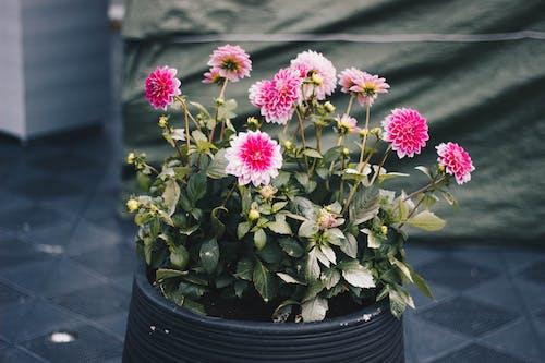 Clustered Pink Petal Flower Plant On Black Pot