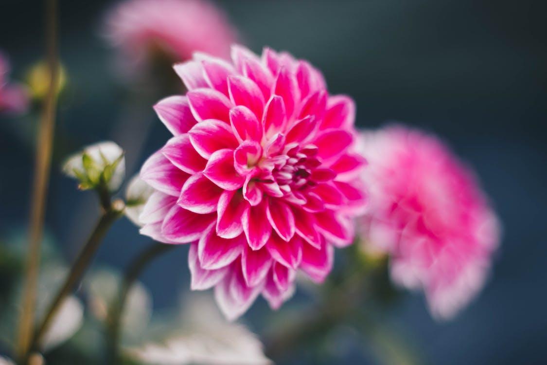 dália, detailný záber, flóra