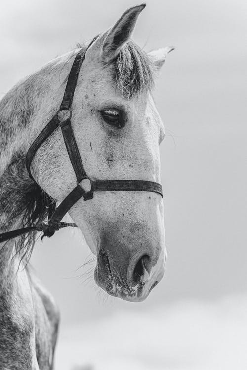 Grayscale Photo of Horse Head