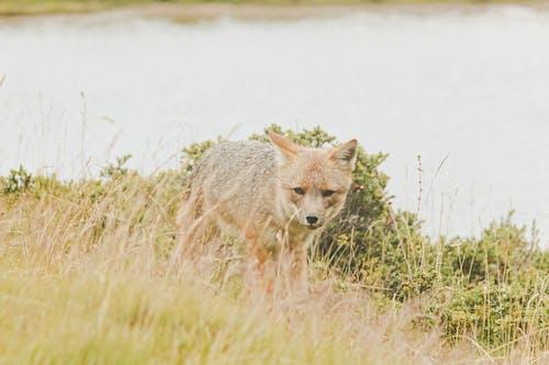 Immagine gratuita di animale selvatico, campo, canidae