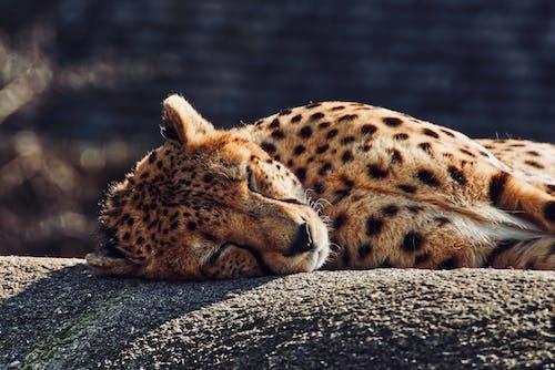 Immagine gratuita di a riposo, addormentato, animale