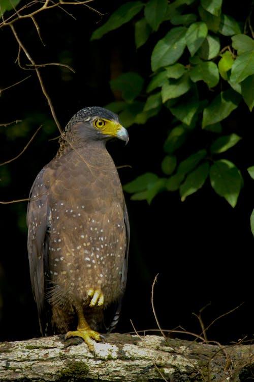 Δωρεάν στοκ φωτογραφιών με wilpattu, αετός, κόσμο πουλιών