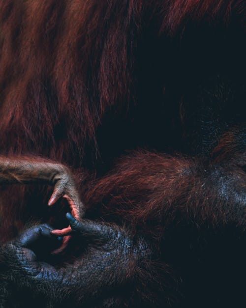 Close-Up View of Two Orangutan's Hands
