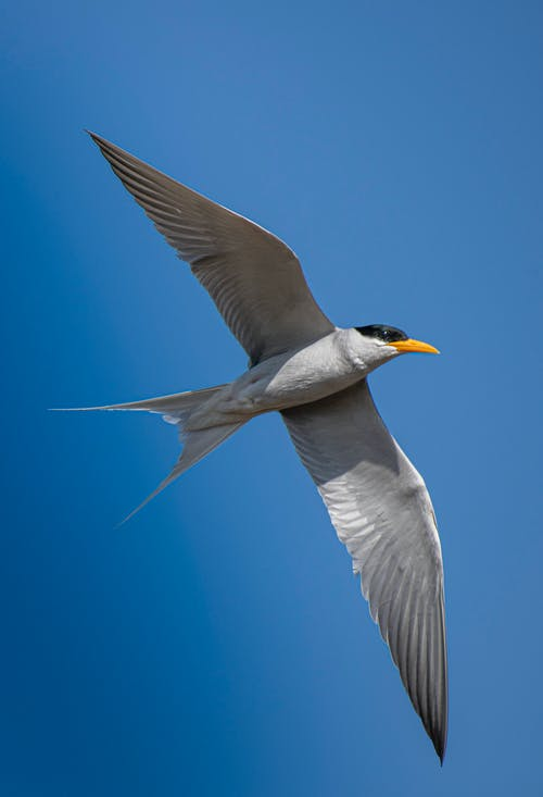 Photo of a Black and Gray Forster's Tern Bird Flying in the Sky