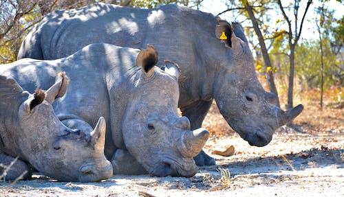 Three Gray Rhinoceroses with Big Horns