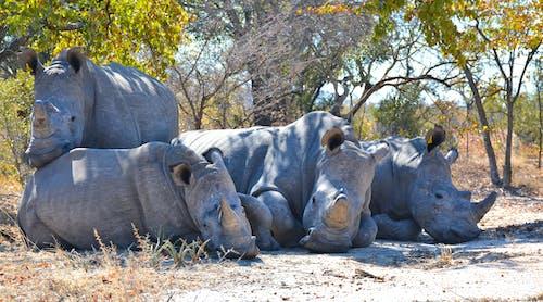Photo of Four Big Gray Rhinoceroses