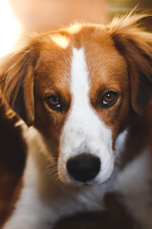 Beagle with brown eyes and fluffy fur