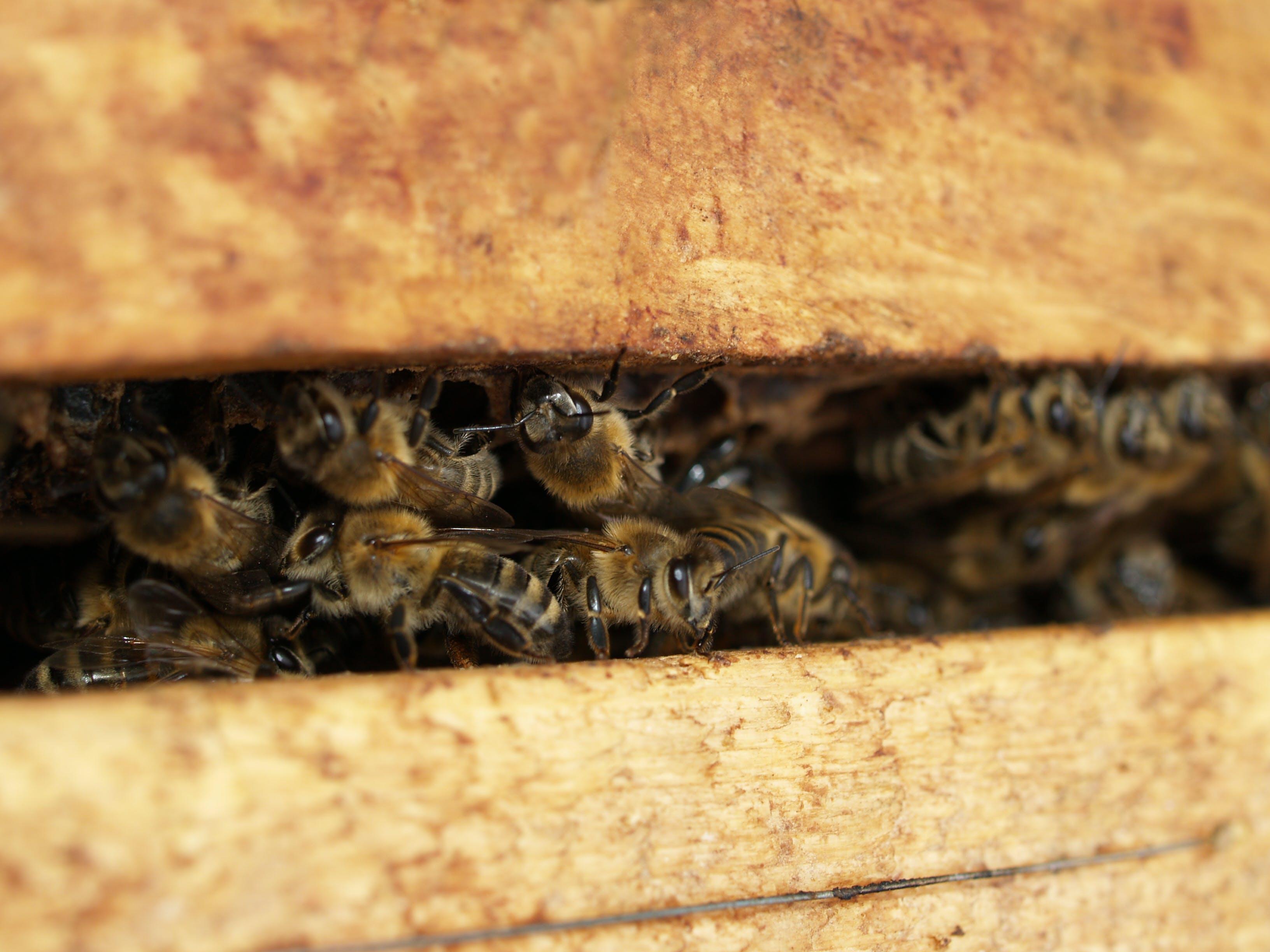 Kostenloses Stock Foto zu biene, bienen, bienenstock, honigbiene