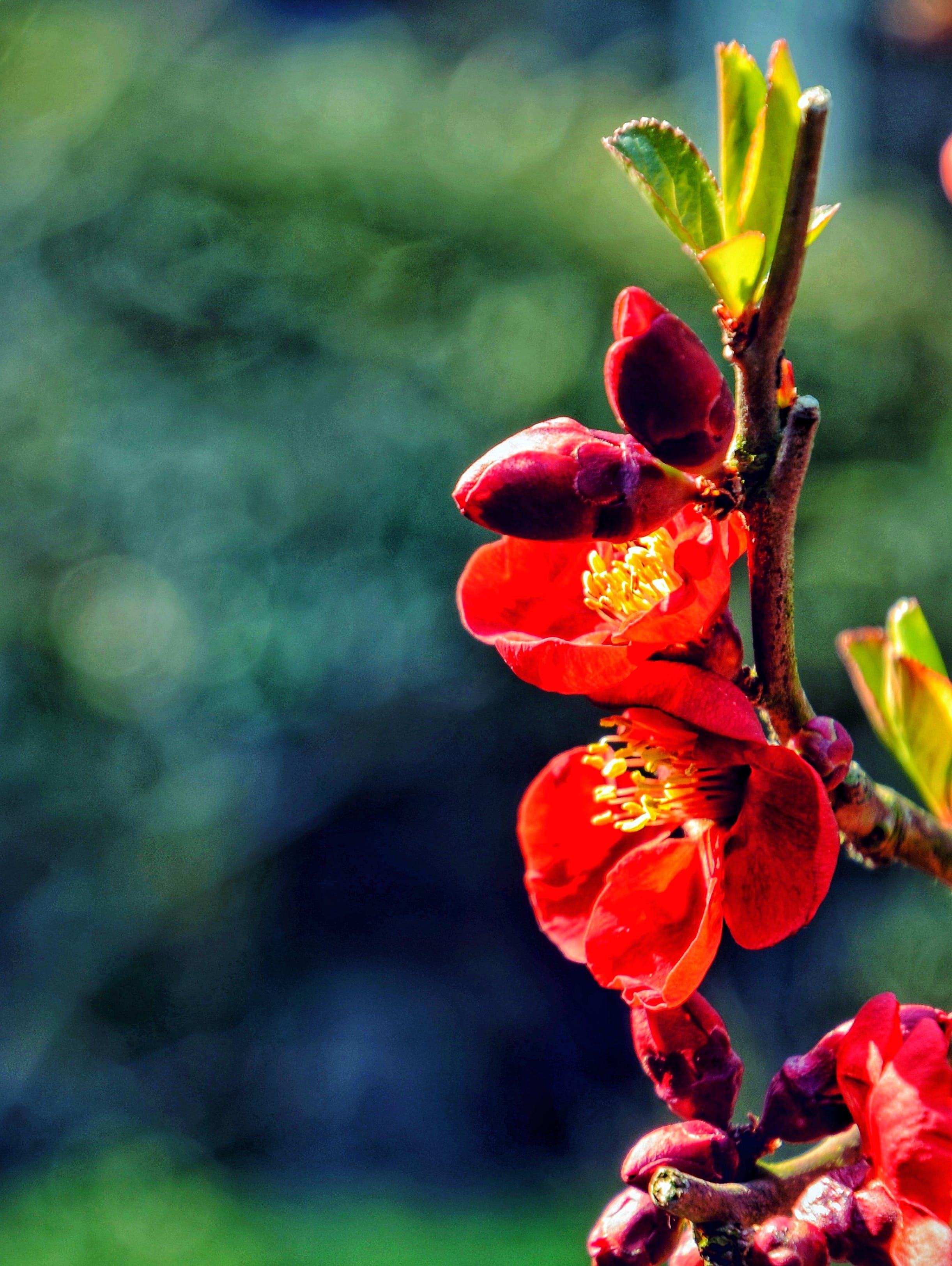 Kostenloses Stock Foto zu blume, hd, herz, kirschblüte