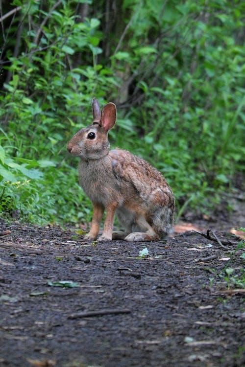 Free stock photo of cottontail, rabbit