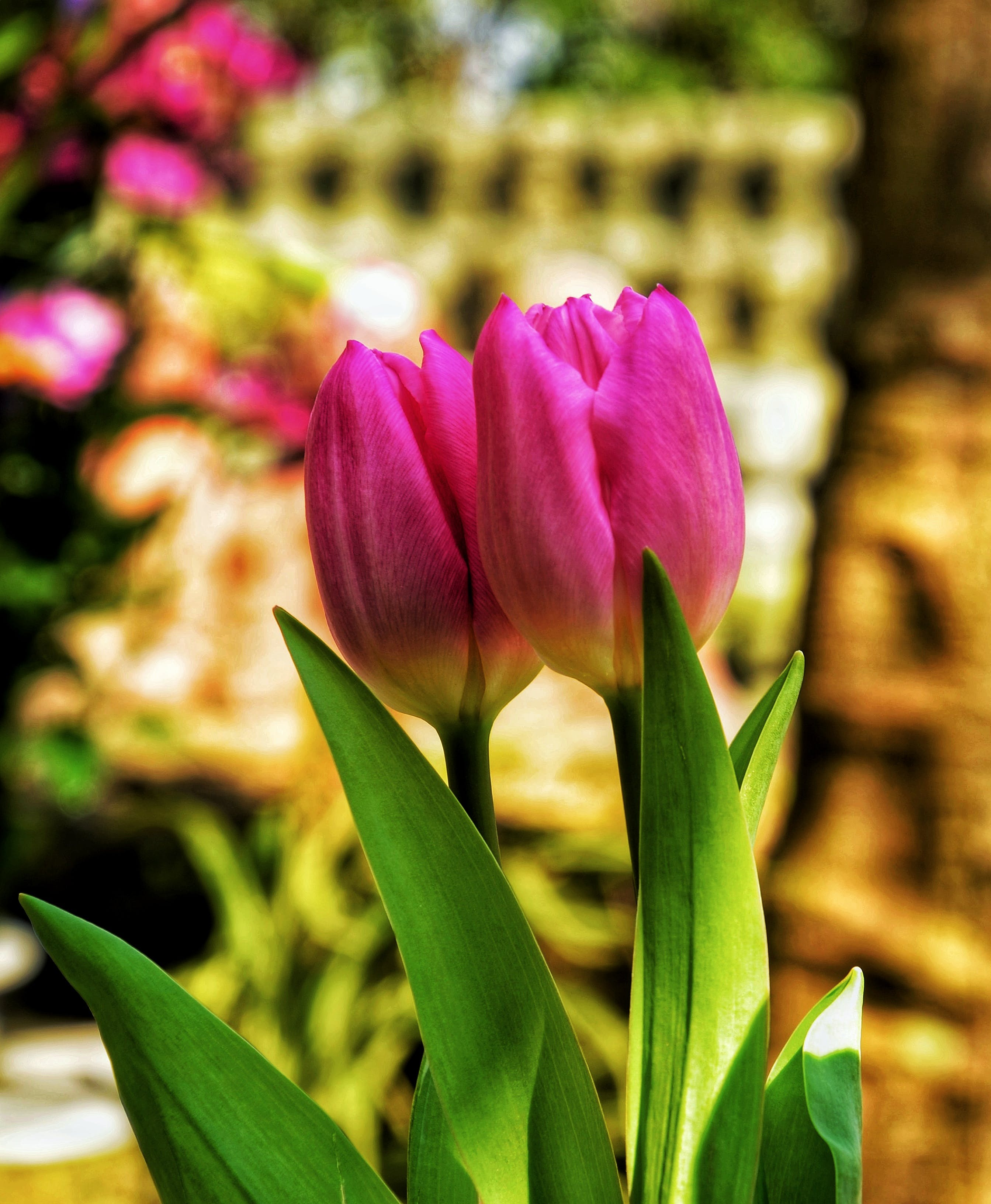 Two Pink Tulip Flowers