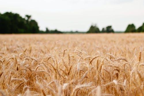 Бесплатное стоковое фото с зерно, зерновое поле, злак, поле