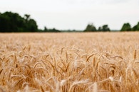 field, agriculture, grain