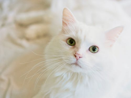 Бесплатное стоковое фото с белая кошка, взгляд, волос