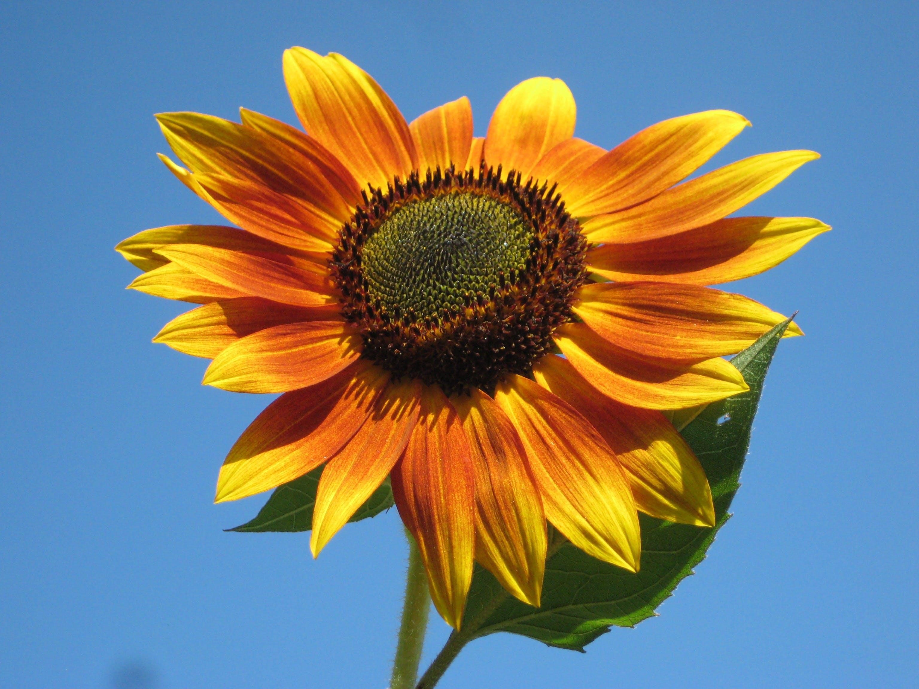 Sunfllower