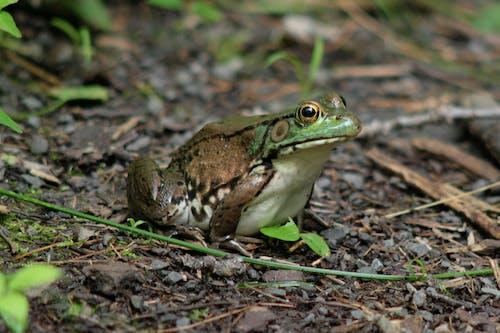 Free stock photo of animal, frog, nature, wildlife photography