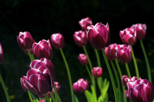 Purple Tulips Close Up Photography