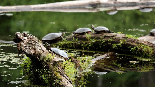 Free stock photo of nature, painted turtle, turtle, wetland