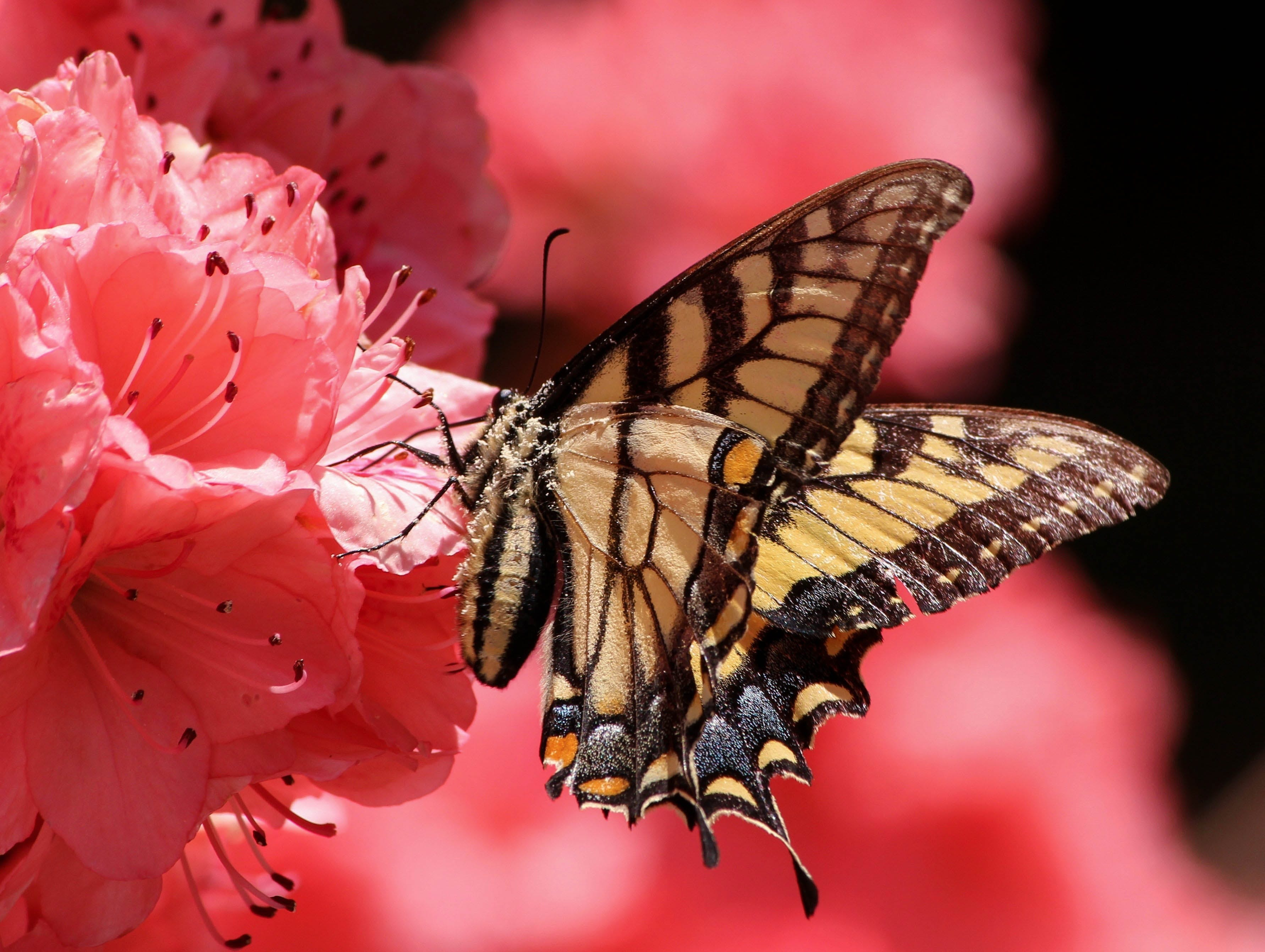 Brown Beige and Black Butterfly on Pink Petaled Flower
