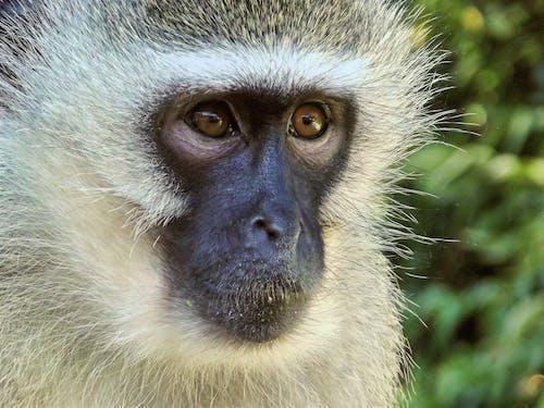 Gratis arkivbilde med apekatt, dyr, dyrefotografering, nærbilde