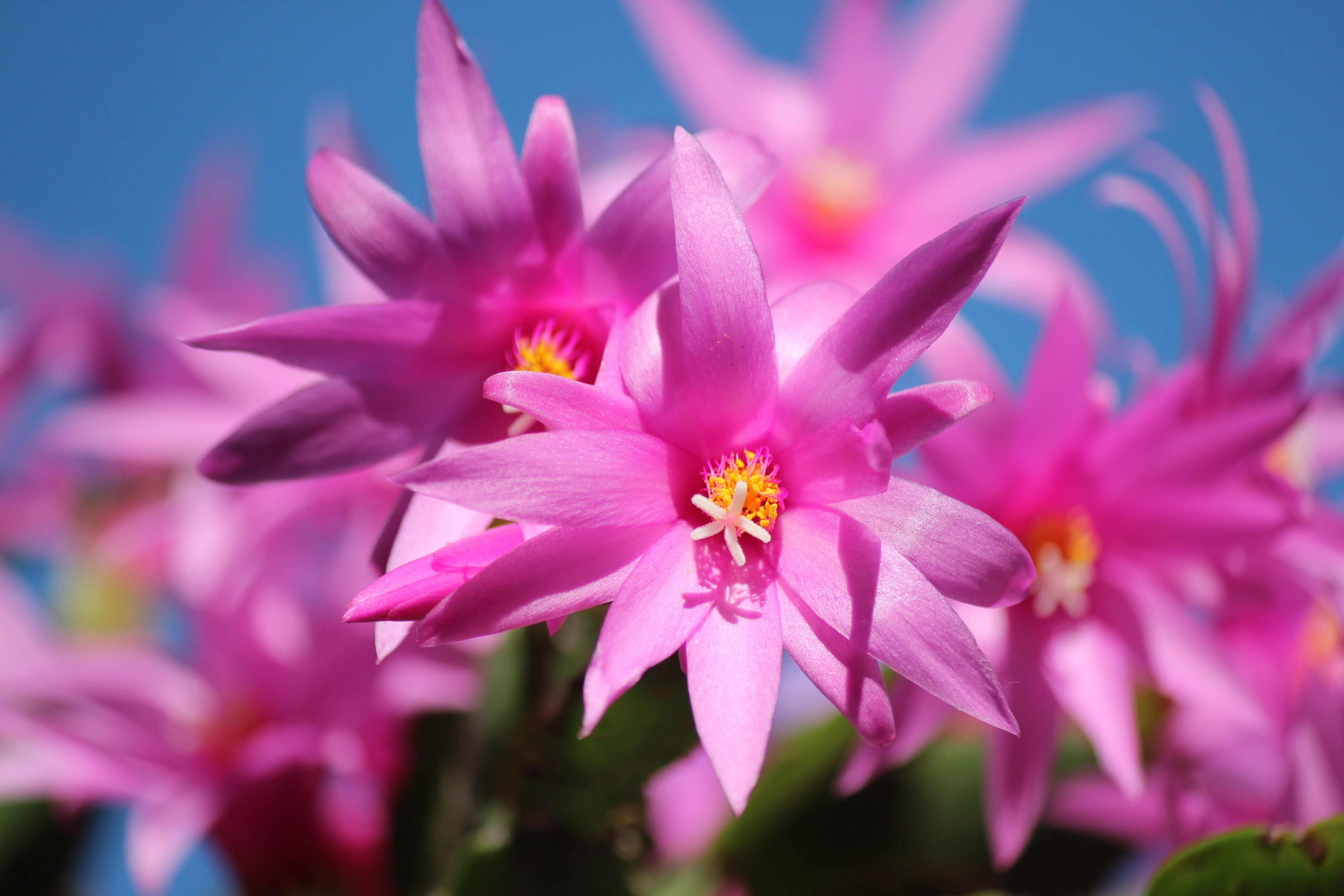 Pink Multi Petaled Flower Close Up Photography