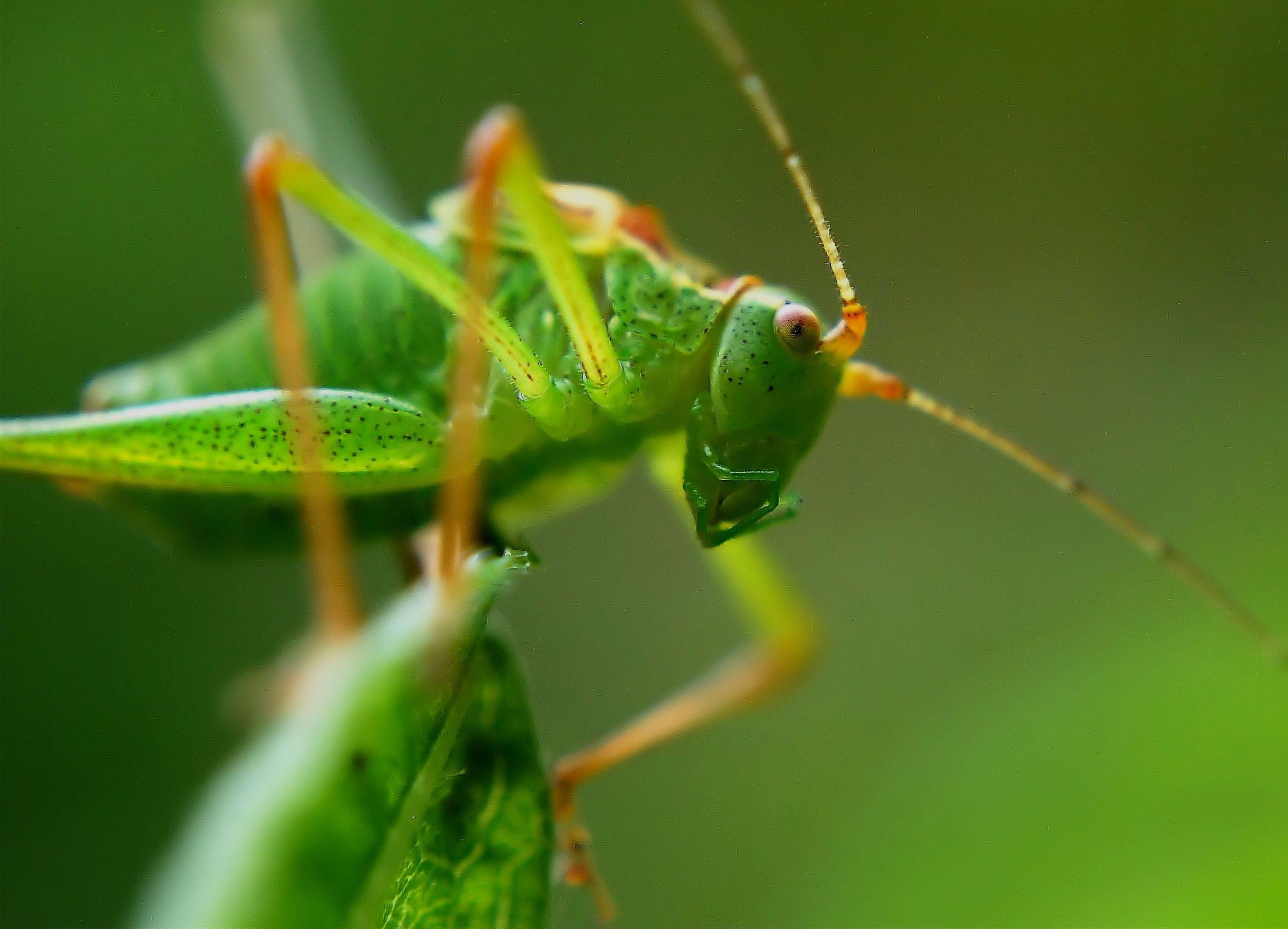 คลังภาพถ่ายฟรี ของ orthoptera, การถ่ายภาพมาโคร, สัตว์, สีเขียว