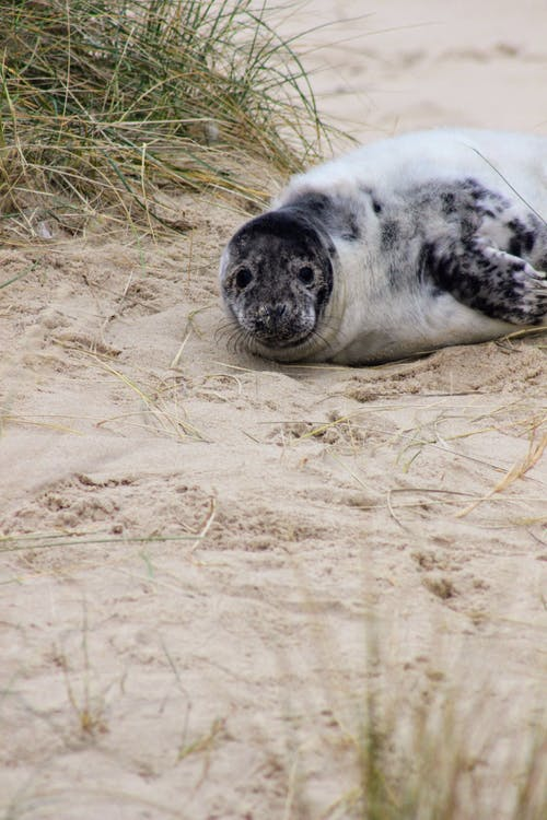 Black and White Harbor Seal Lying on Brown Sand