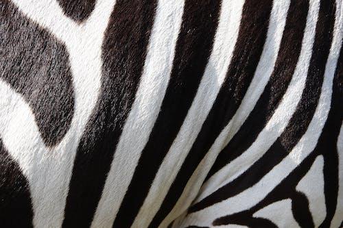 Gratis arkivbilde med dyr, mønster, pattedyr, pels