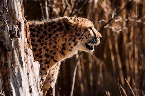 Shallow Focus of a Cheetah