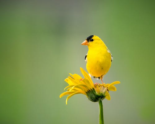 Yellow Bird Perched on Yellow Flower