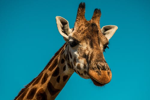 Giraffe on Blue Background