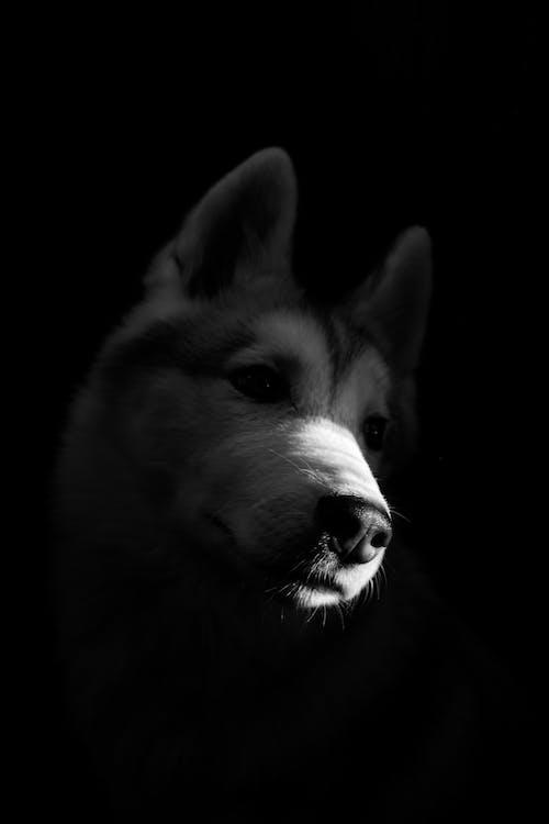 Grayscale Photo of Siberian Husky