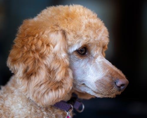 Poodle with fluffy coat on dark background