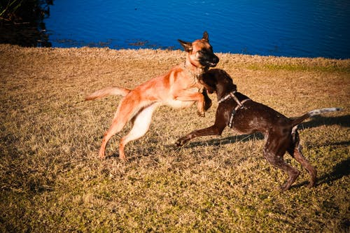 Free stock photo of belgian shepherd dog, dogs playing, park, puppies playing