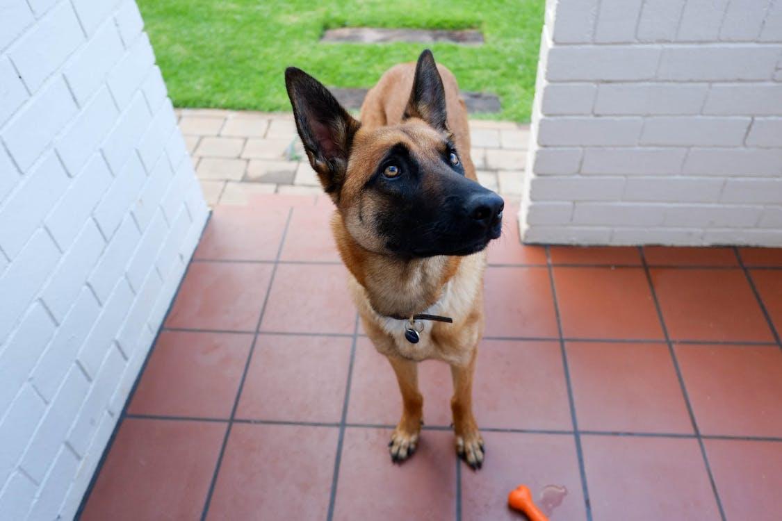 Free stock photo of belgian shepherd dog, dog, malinois
