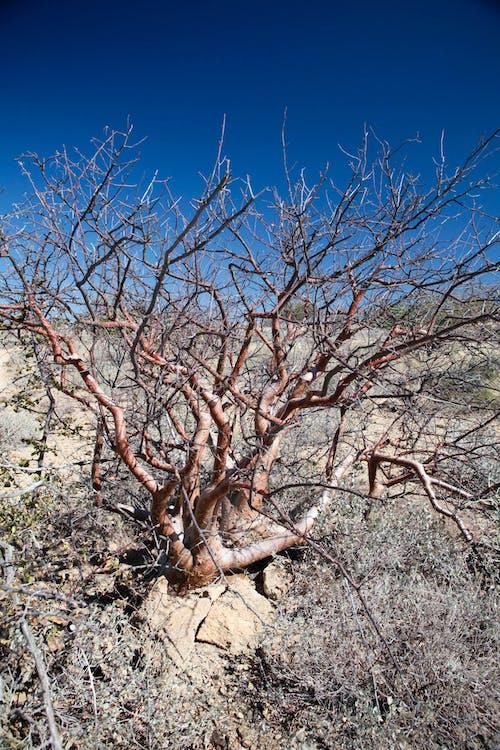 Free stock photo of desert tree, dry landcsape, landscape, namibia