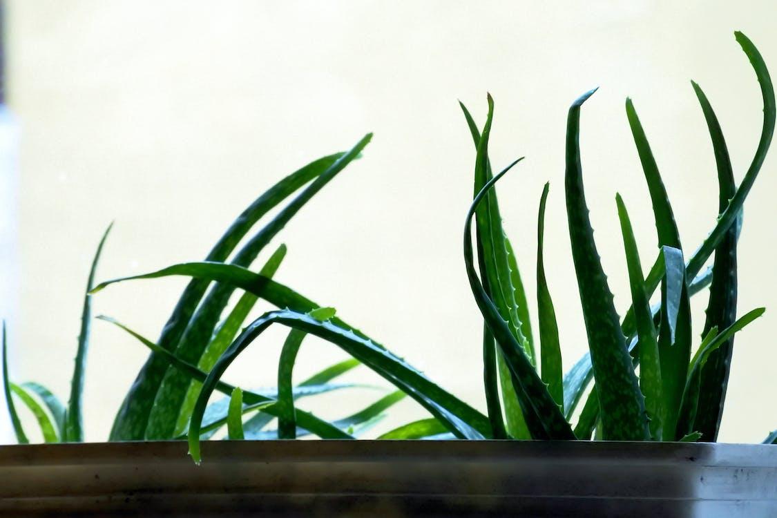 Free stock photo of aloe vera, cactus plant, green
