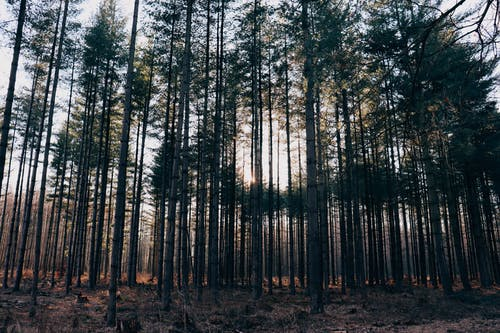 Coniferous Trees on a Forest